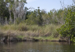 Tall, Bare Mangrove Branches and Grass at Halfway Creek in Everglades National Park