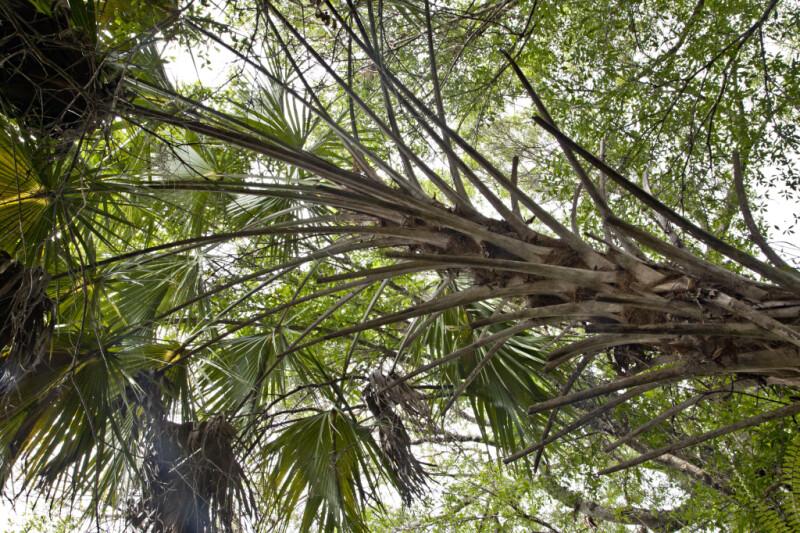 Tall, Branching Palm Tree