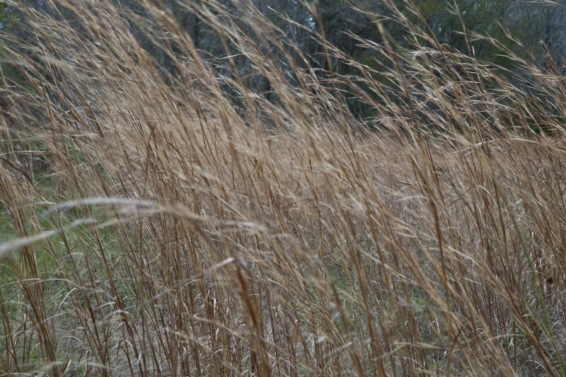 Tall, Brown Grass on a Windy Day
