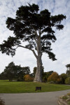 Tall Coniferous Tree Near Winding Sidewalk