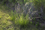 Tall, Flowering Grass at the Flamingo Campgrounds of Everglades National Park