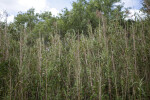 Tall Grass at Pa-hay-okee Overlook of Everglades National Park