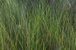 Tall, Green Grass