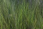 Tall, Green Grass
