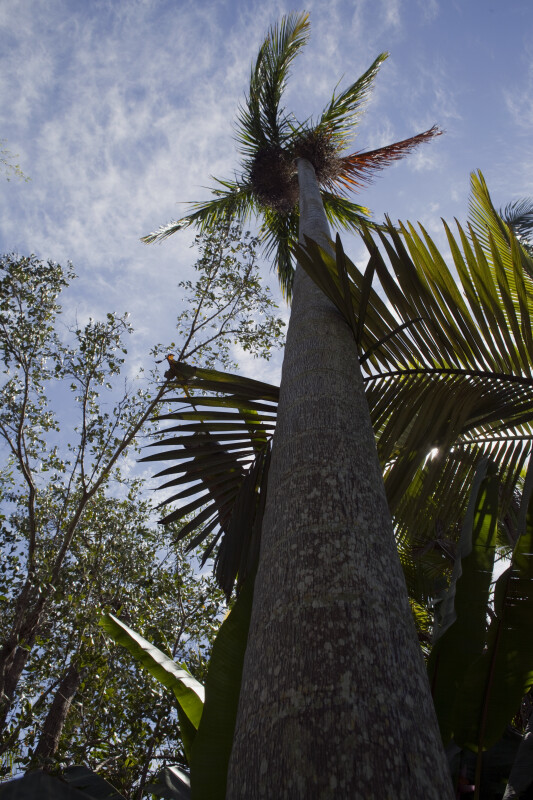 Tall Nicobar Palm