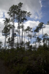 Tall Pine Trees Growing Behind Shrubs at Long Pine Key of Everglades National Park
