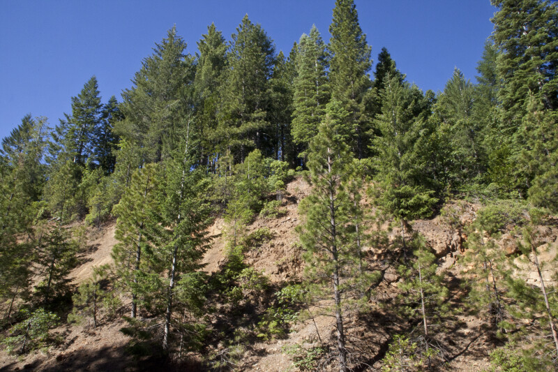 Tall Pines on a Steep Slope