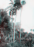 Tall Sabal Palms