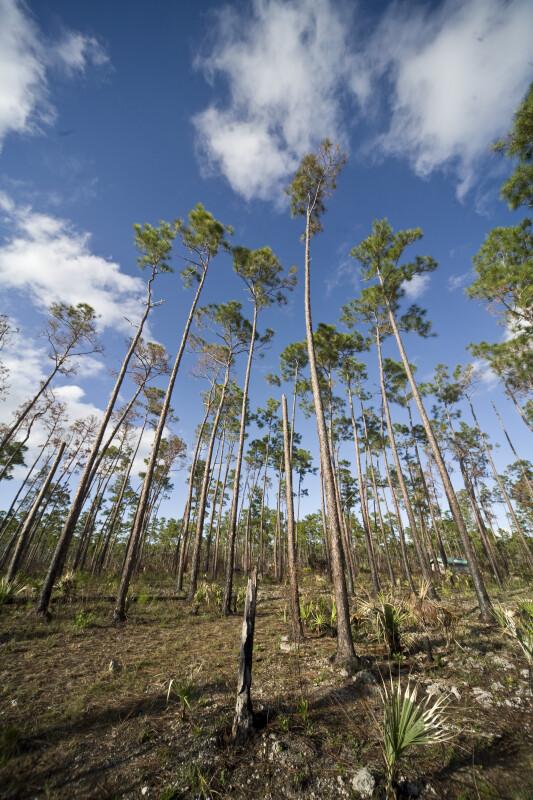 Tall Slash Pines