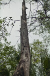 Tall Snag along the Big Cypress Bend Boardwalk