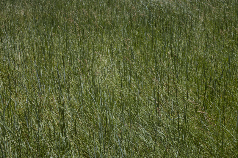 Tall, Straight Grasses