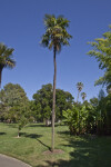 Tall, Thin Himalayan Windmill Palm Tree