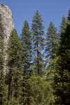 Tall Trees near a Granite Cliff