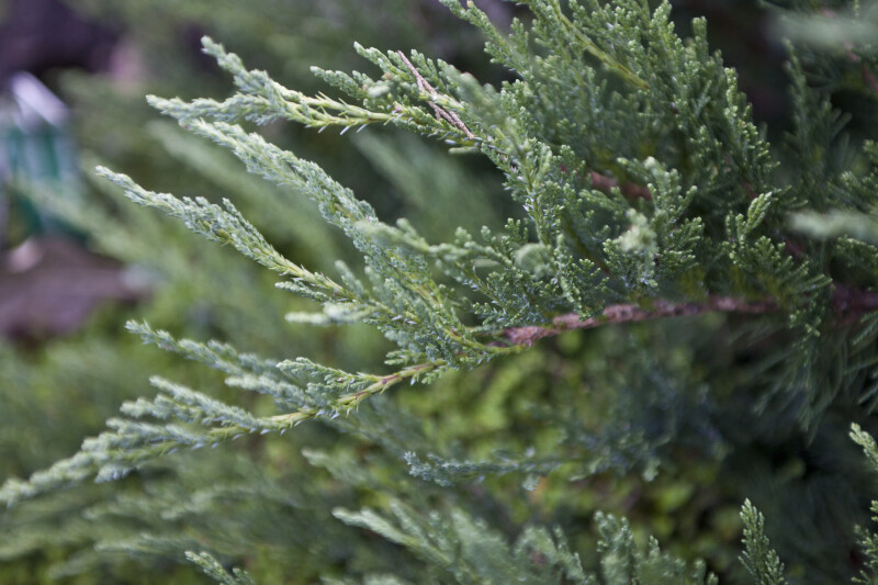 Tamarix Juniper Branch