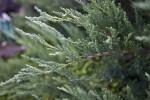 Tamarix Juniper Branch