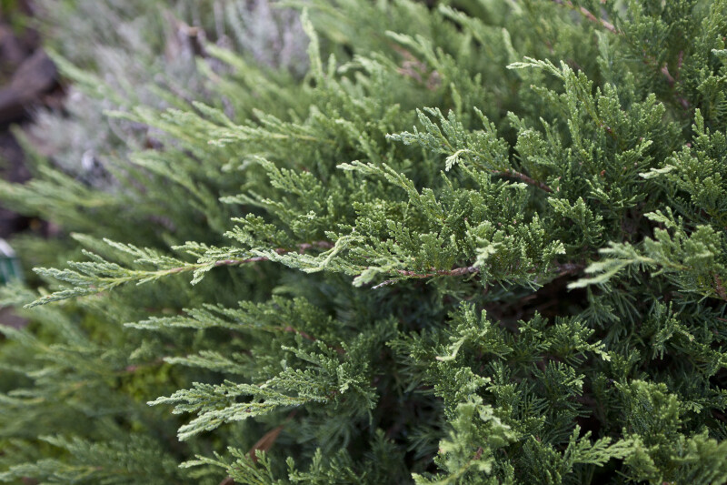 Tamarix Juniper Leaves