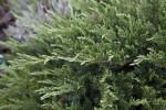 Tamarix Juniper Leaves