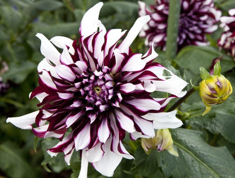 """Tartan"" Dahlia Flowers"