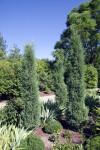 """""""Taylor"""" Juniper at Denver Botanical Gardens"""