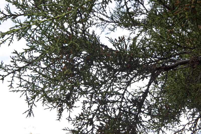 Tecate Cypress Branches
