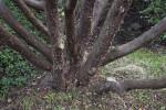 Tecate Cypress Peeling Bark