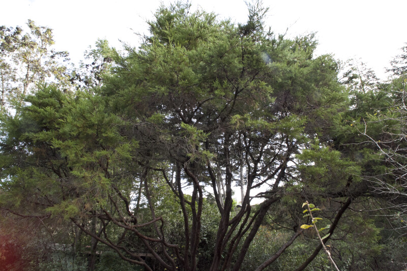 Tecate Cypress Tree