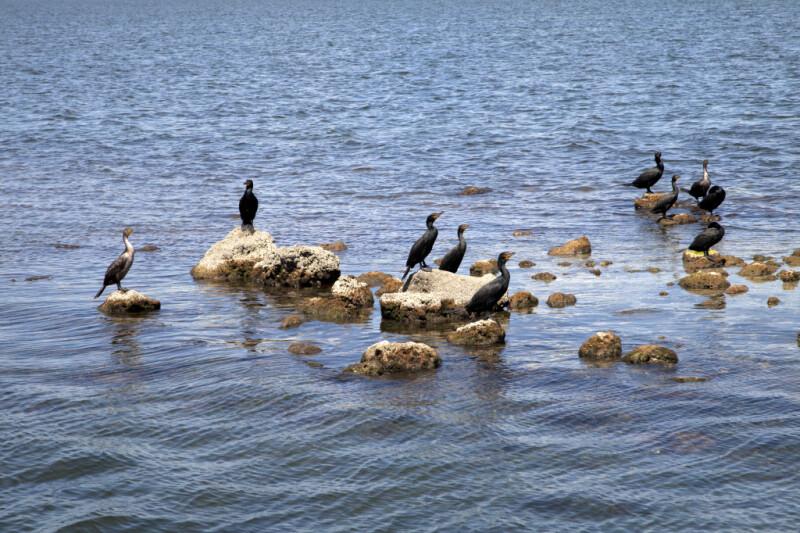 Ten Double-Crested Cormorants Resting on Rocks