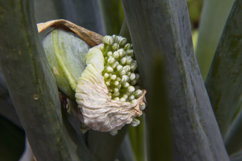 Terminal End of an Onion Leaf with Flower Buds Poking up Through Sheath