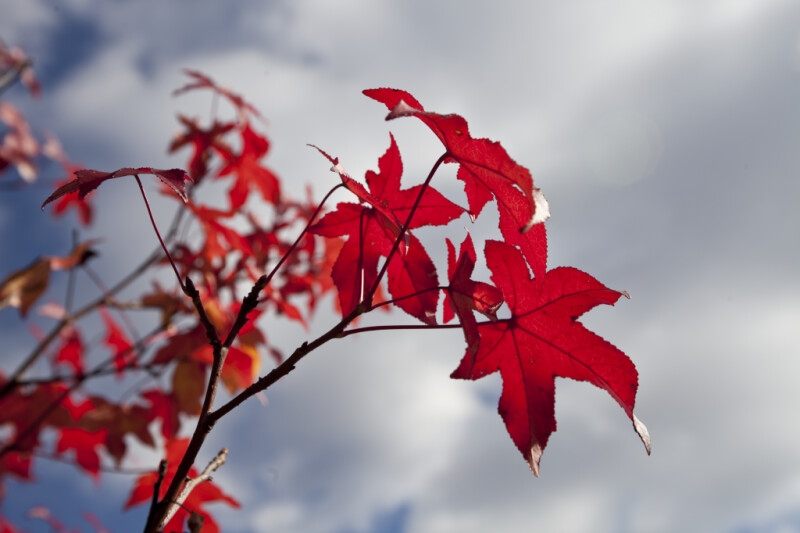 Terminal Leaves of a Red Maple