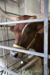 Texas Longhorn Behind Metal Enclosure at the Florida State Fairgrounds