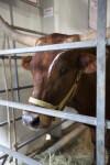 Texas Longhorn Behind Metal Enclosure at the Florida State Fairgrounds