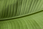 The Bottom of a Large, Green Leaf