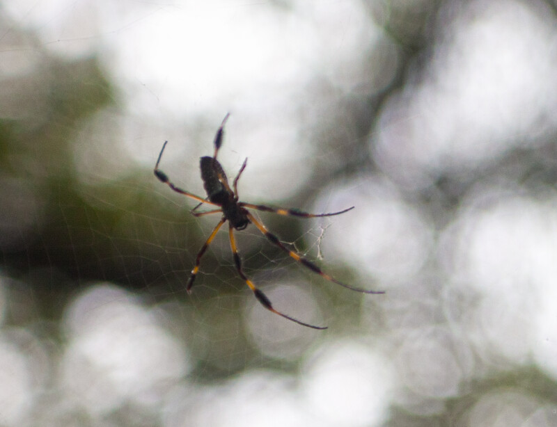 The Dorsal Side of a Golden Silk Orb-Weaver in its Web