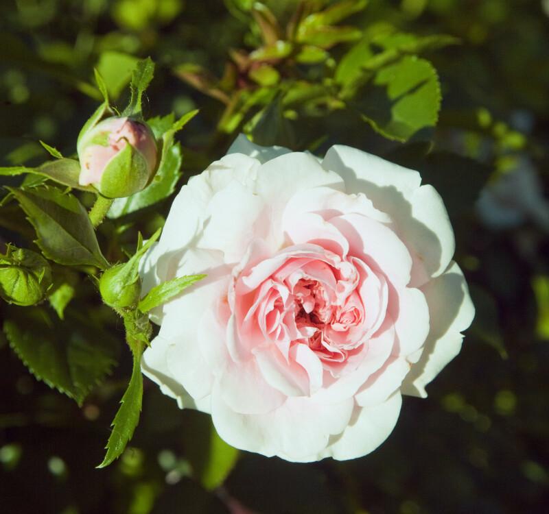 """""""The Faun"""" Rose"""