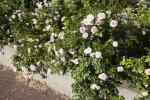 """""""The Faun"""" Rosebush"""