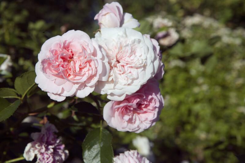 """""""The Faun"""" Roses"""