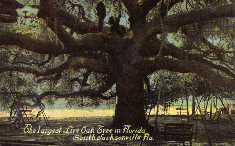 The Largest Live Oak Tree in Florida, in South Jacksonville, Florida