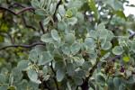 The Leaves of a Manzanita Shrub
