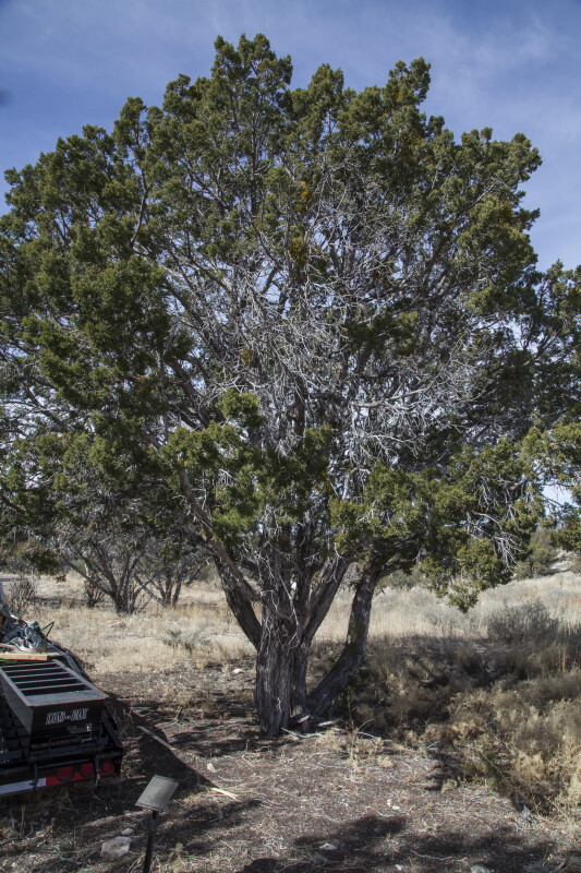The One-Seed Juniper