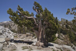 The Other Side of a Jeffrey Pine with No Needles