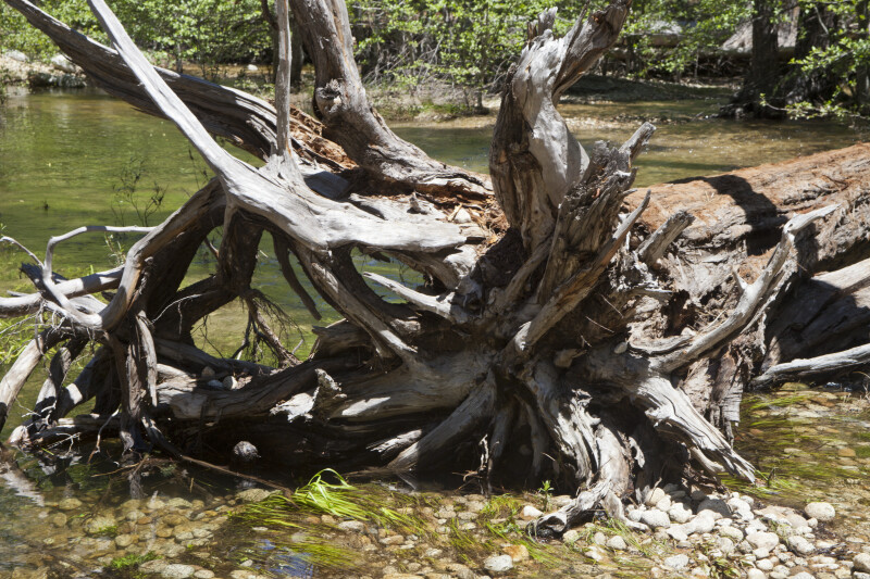 The Roots of a Downed Tree