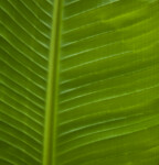 The Top of a Large, Green Leaf
