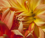 """Theresia"" Dahlia Close-Up"
