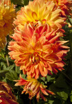 """Theresia"" Dahlia Clusters"