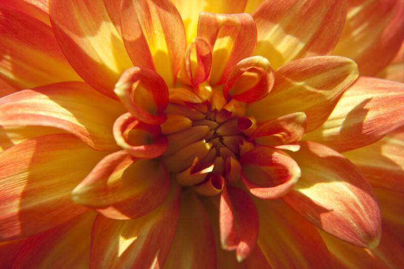 """Theresia"" Dahlia Detail"