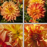 Theresia Dahlias photographs