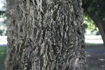 Thick Bark of Cork Oak Tree