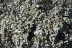 Thick Lichen Coverage on Tree Bark