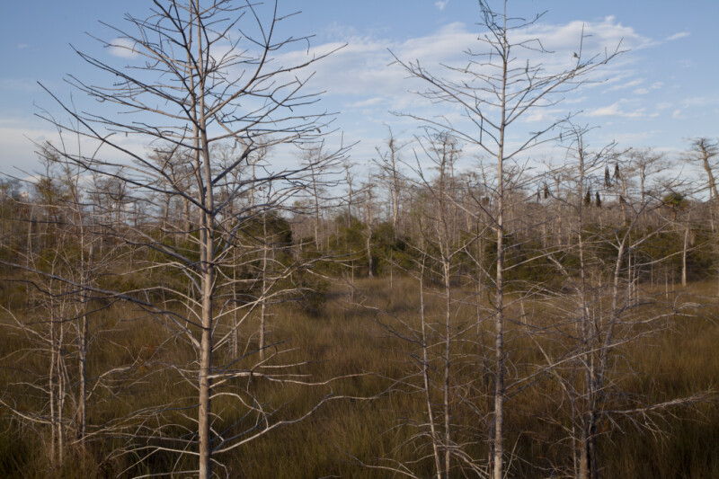 Thin Branches of Bare Cypress Trees