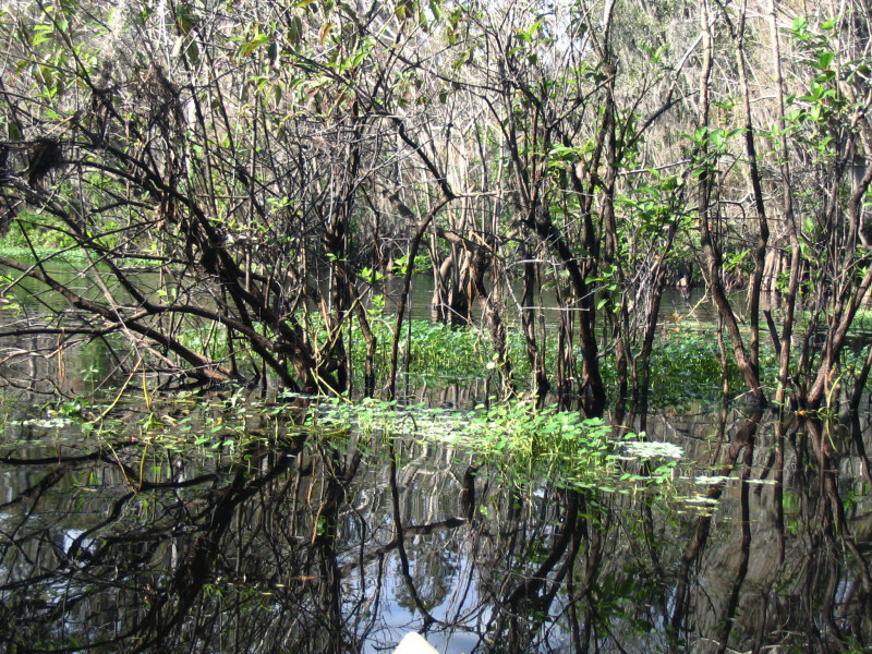 Thin Trees Growing out of Hillsborough River